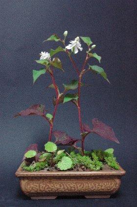 八重咲のドクダミ寄せ植え 120603撮影