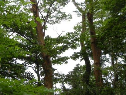 ヒメシャラの純林・箱根神社社殿裏傾斜地