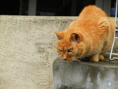 鋭い目の、猫