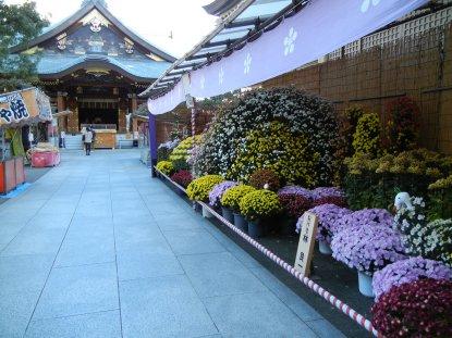 湯島神社・菊・鳥居から本殿