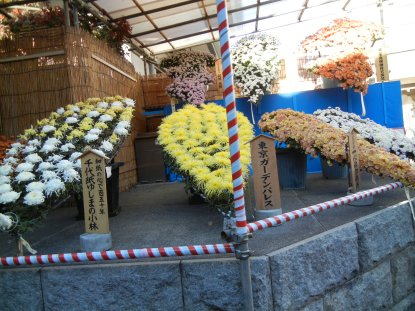 湯島神社・菊