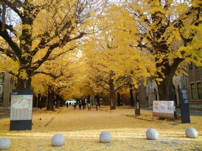 東大イチョウ並木の黄葉1130