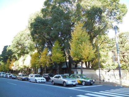本郷通り沿いの、楠の並木