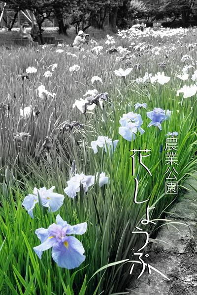 01・花しょうぶタイトル