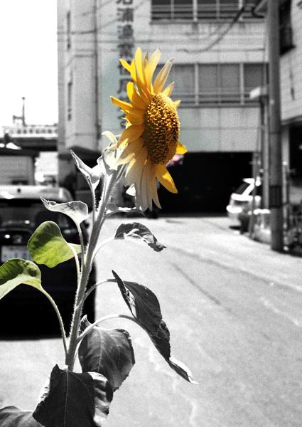 08・向日葵