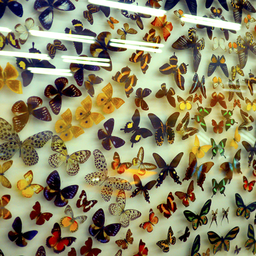03・蝶の標本