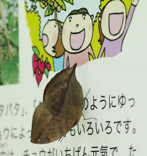07・コノハチョウ(閉じる)