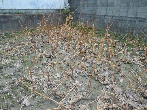 1.レンコン畑