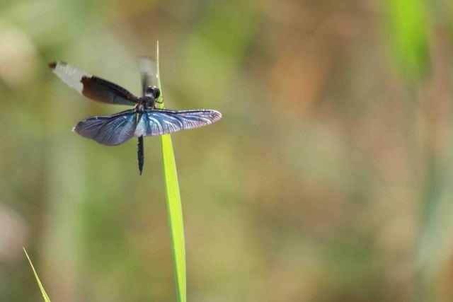 蝶トンボ2のコピー_R