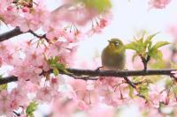 桜メジロー_R