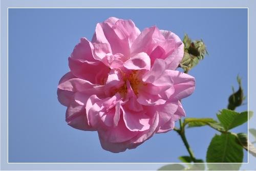 rosedmeDSC_0197.jpg