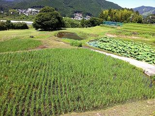 米と蓮根(2)