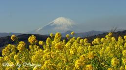 菜の花と富士2aa
