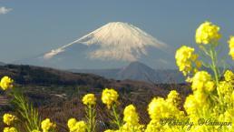 菜の花と富士3aa