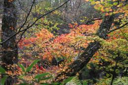 吐竜の滝付近紅葉2_1