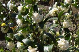 白花ジンチョウゲ1_1