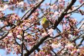 大寒桜にメジロ1_1_1