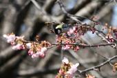 大寒桜にシジュウカラ2_1_1