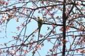 大寒桜にワカケホンセイインコ1_1_1