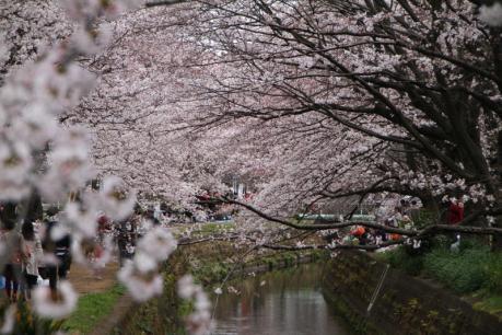 千本桜f_1