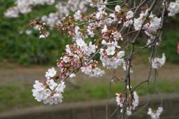 千本桜k_1_1