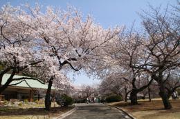 新宿御苑桜2_1