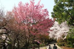 新宿御苑桜3_1