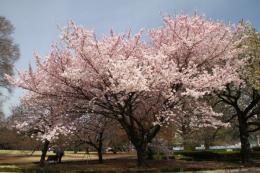 新宿御苑桜4_1