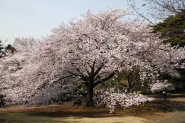 新宿御苑桜5_1