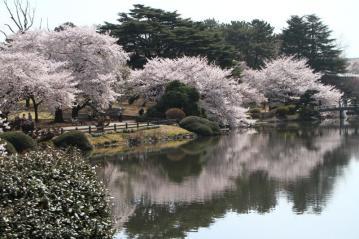 新宿御苑池桜a_1_1