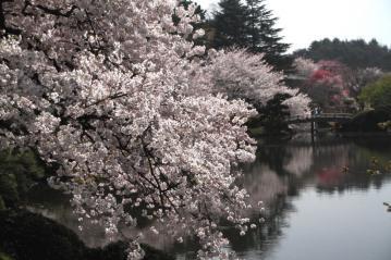 新宿御苑池桜b_2_1
