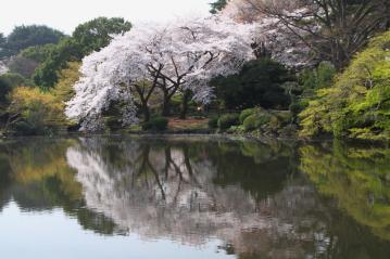 新宿御苑池桜c_1_1