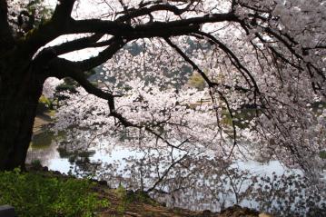 新宿御苑池桜d_1_1