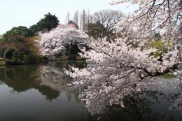 新宿御苑池桜e_1_1