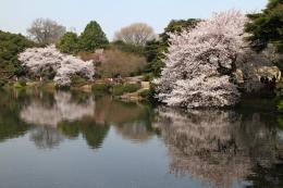 新宿御苑池桜h_1_1