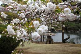 新宿御苑池桜i_1_1