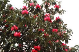 シャクナゲ赤花1_1
