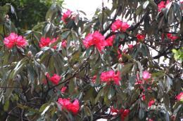 シャクナゲ赤花2_1