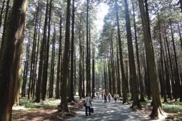 ヒノキ樹林_1