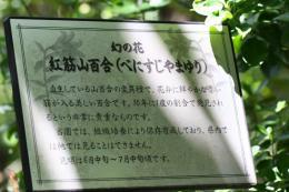 ベニスジヤマユリ3_1