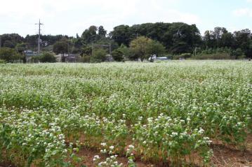 ソバの花1_1_1