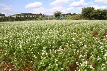 ソバの花2_2