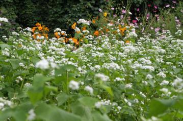 ソバの花4_2
