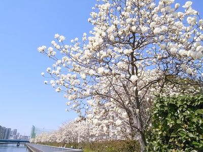静かに白く咲いている
