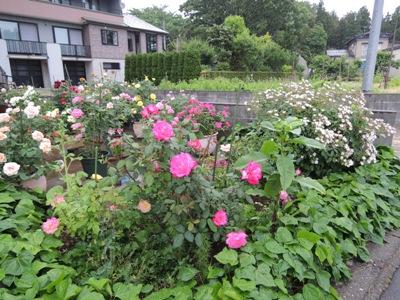 5月の薔薇2