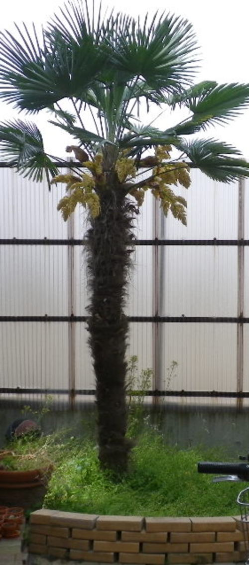 2011.5.お庭の11年目のヤシの木