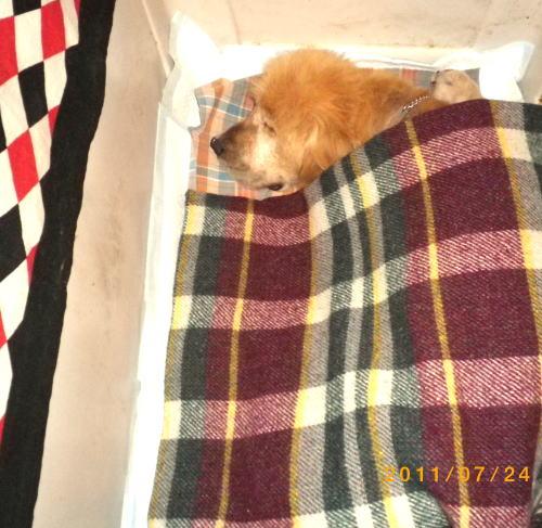 2011.7.ラヴィン 約3週間ぶりにハウスで就寝