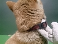 迷い犬柴犬♂(焼山)首輪