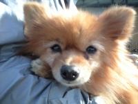 ポメ迷い犬