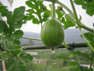bigger watermelon_small